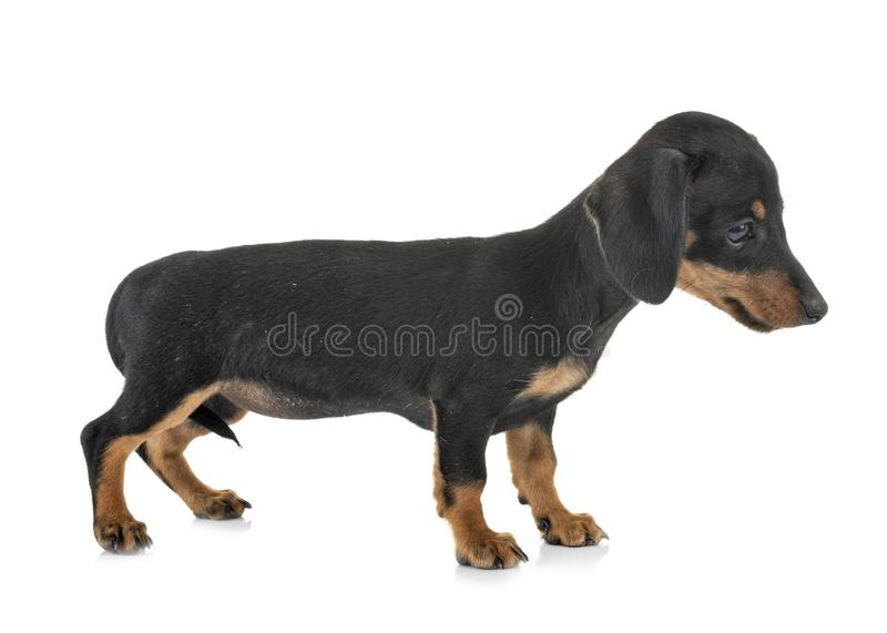 Puppy miniature dachshund royalty free stock photography
