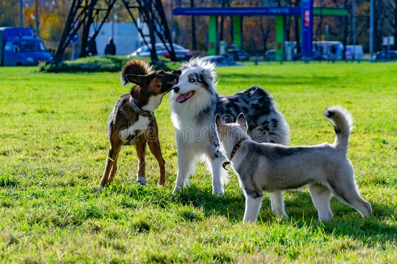 Puppy miniature husky. Australian shepherd aussie. Dogs play with each other, merry fuss, harmonious relations, correction of behavior and aggressiveness royalty free stock photography