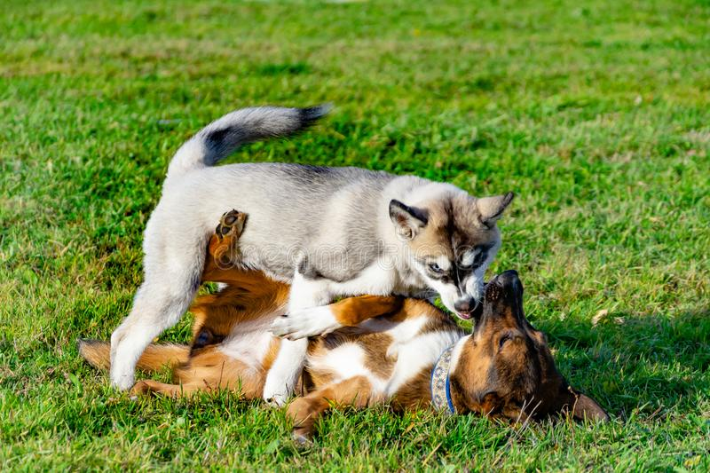Puppy miniature husky. Dogs play with each other, merry fuss. Harmonious relations, correction of behavior and aggressiveness. Obedient pet performs the stock image