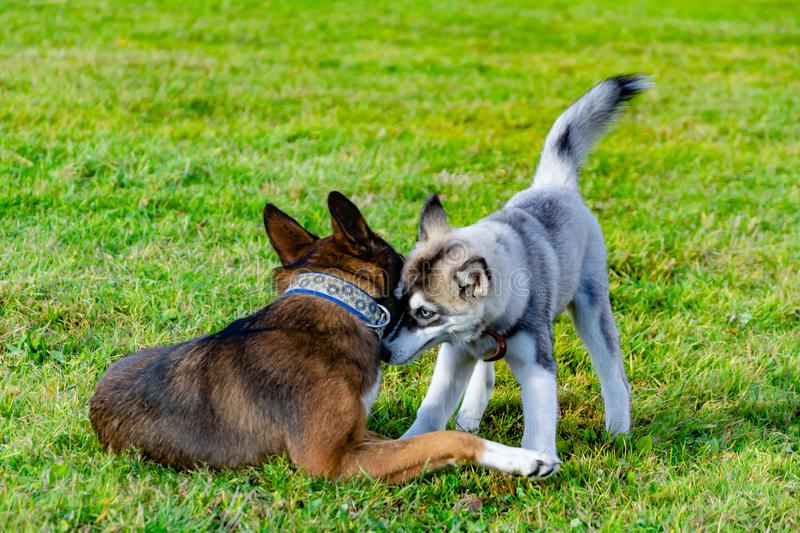 Puppy miniature husky. Dogs play with each other, merry fuss. Harmonious relations, correction of behavior and aggressiveness. Obedient pet performs the royalty free stock photography