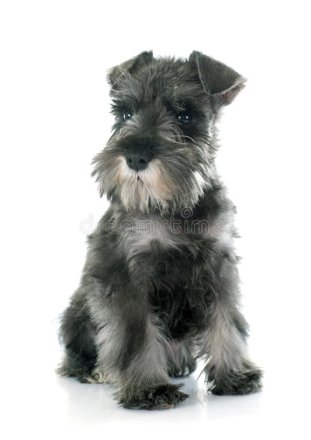 Puppy Miniature Schnauzer royalty free stock photo