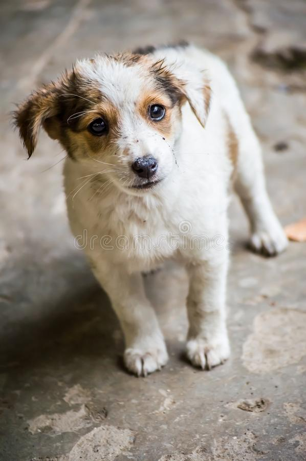 Puppy with mud on the face. Adorable, alert, animal, background, beautiful, breed, brown, canine, care, cleaning, cute, dirty, dog, doggy, domestic, ears stock images