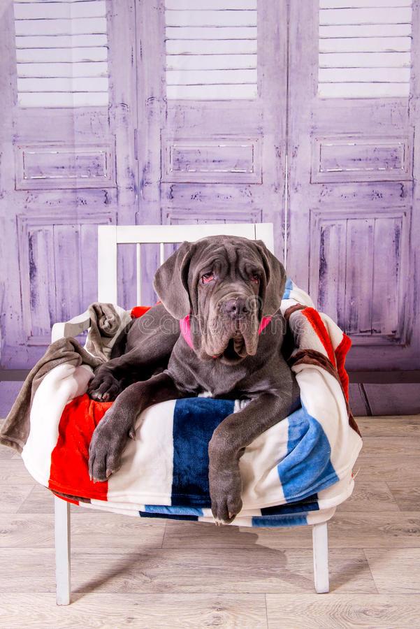 Puppy Neapolitana Mastiff lying on a chair. Dog handlers training dogs since childhood. royalty free stock images