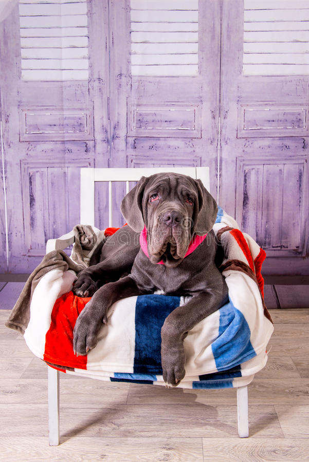 Puppy Neapolitana Mastiff lying on a chair. Dog handlers training dogs since childhood. Puppy Neapolitana Mastiff lying on a chair. Dog handlers training dogs royalty free stock image