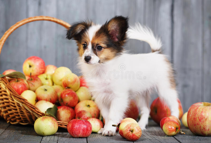 Puppy near the basket with apples royalty free stock photos