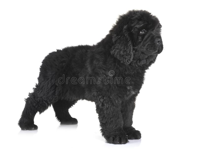 Puppy newfoundland dog royalty free stock photo