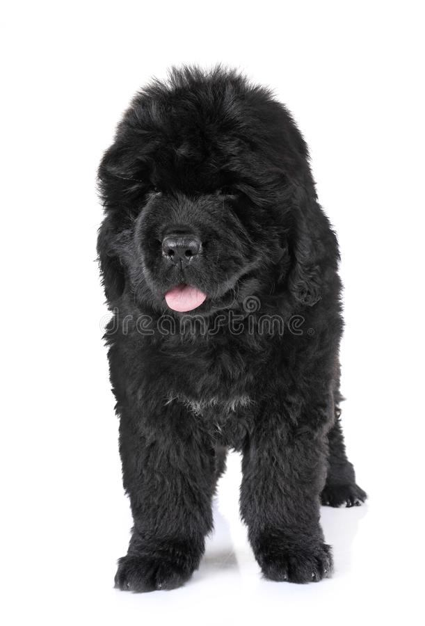 Puppy newfoundland dog stock image