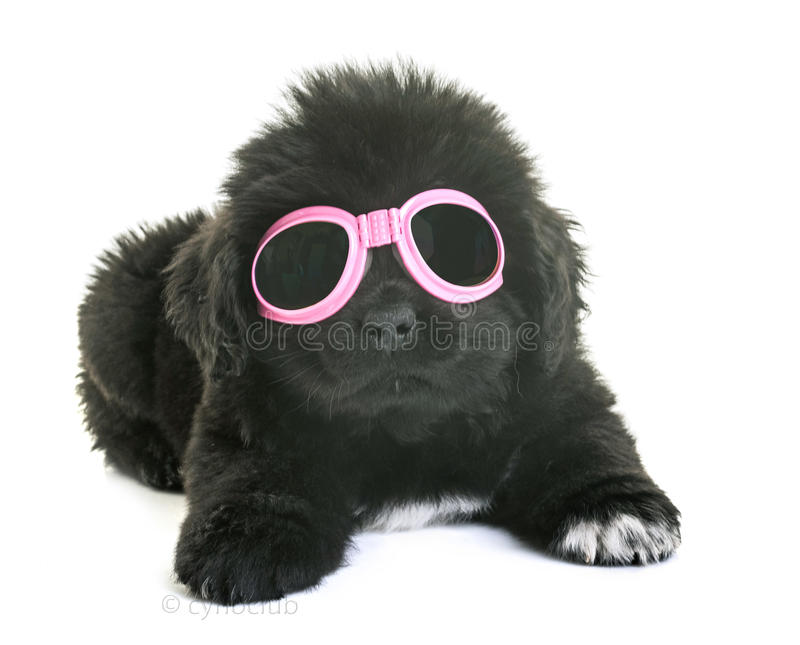 Puppy newfoundland dog stock photo