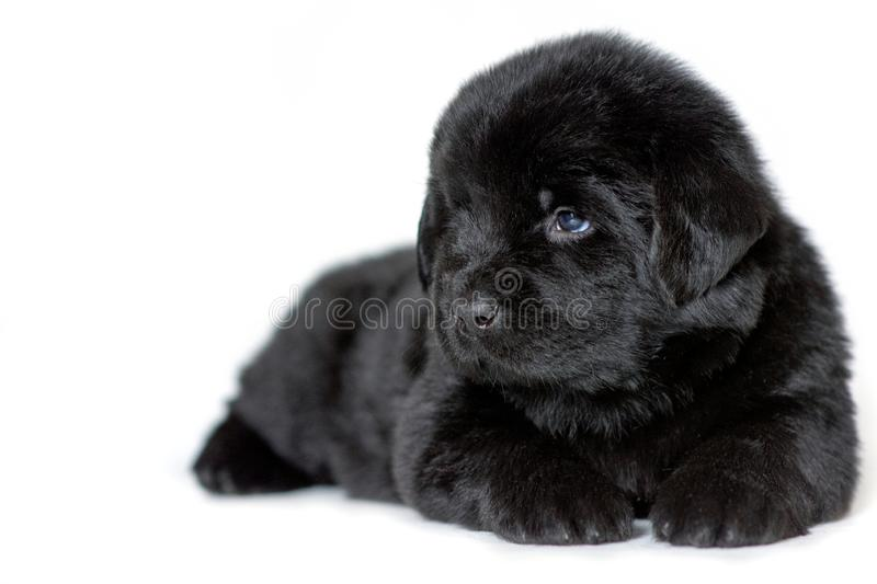 Puppy Newfoundland dog lying and looking sideways, on a white background. A place for a label stock image