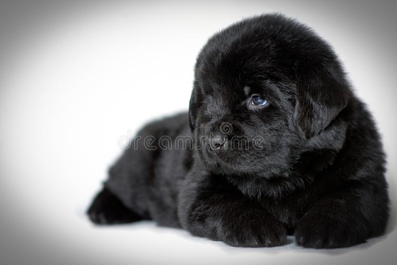 Puppy Newfoundland dog lying and looking sideways, on a white background. A place for a label royalty free stock photography