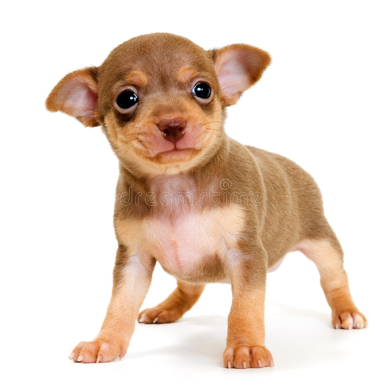 Free Puppy Of Toy-terrier In Studio Stock Photography - 13314772