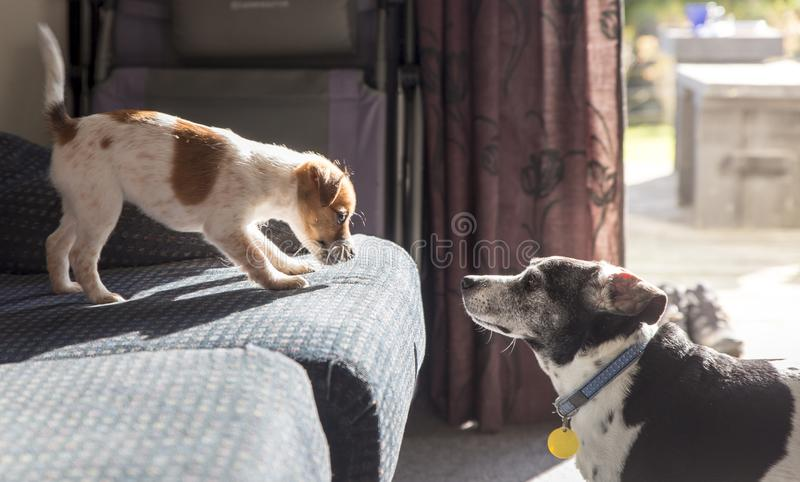 Puppy and older dog facing each other stock photo
