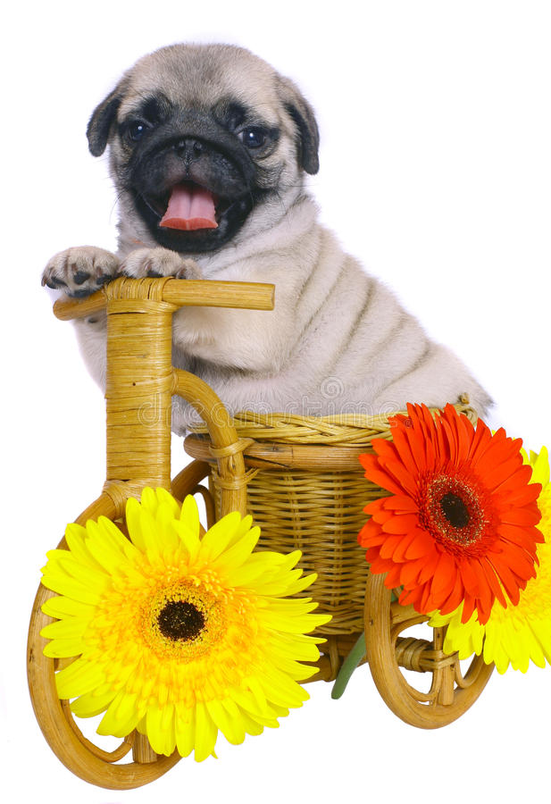 Free Puppy On A Decorative Bicycle With Flowers. Stock Photos - 17157193