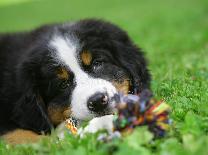 Puppy op een gras. royalty-vrije stock foto
