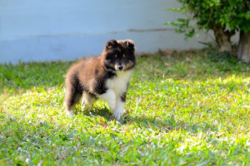 Puppy op het groene gras royalty-vrije stock afbeeldingen