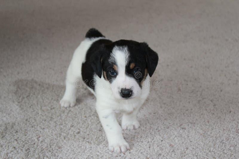 Puppy op tapijt stock afbeeldingen