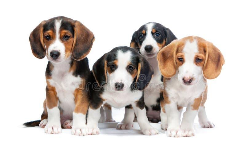Puppy op wit worden geïsoleerd dat stock foto's