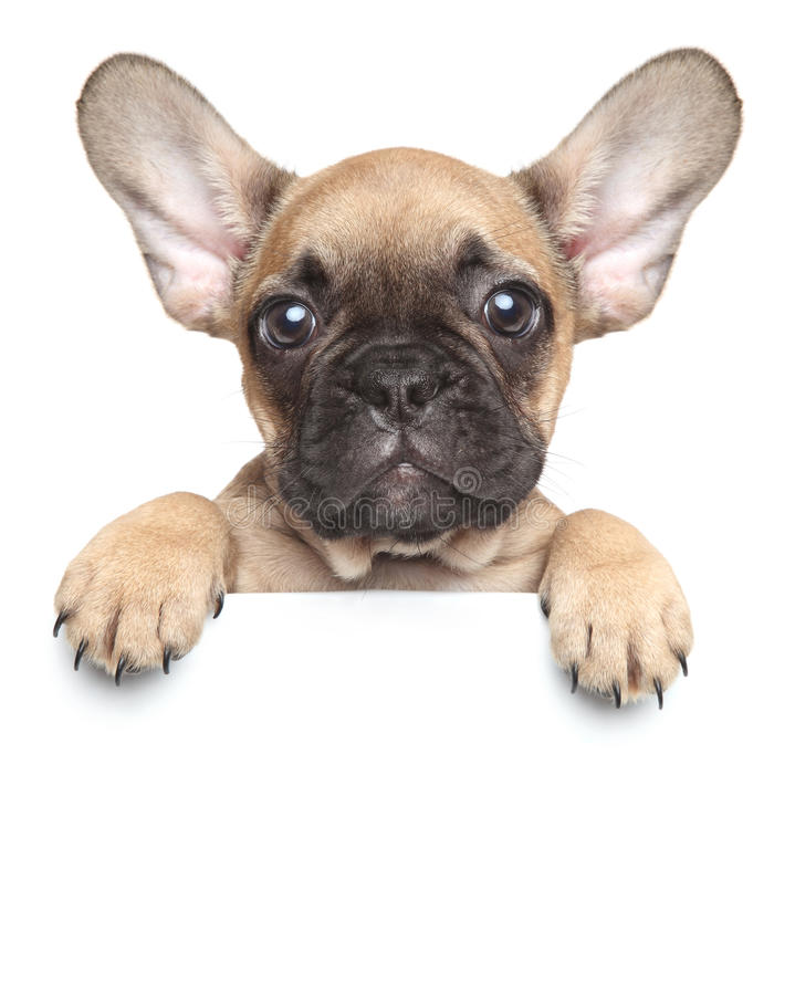 Puppy over a white banner stock photography