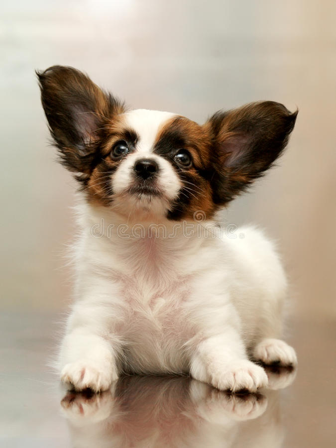 Download Puppy papillon stock photo. Image of head, fine, staring - 17639828