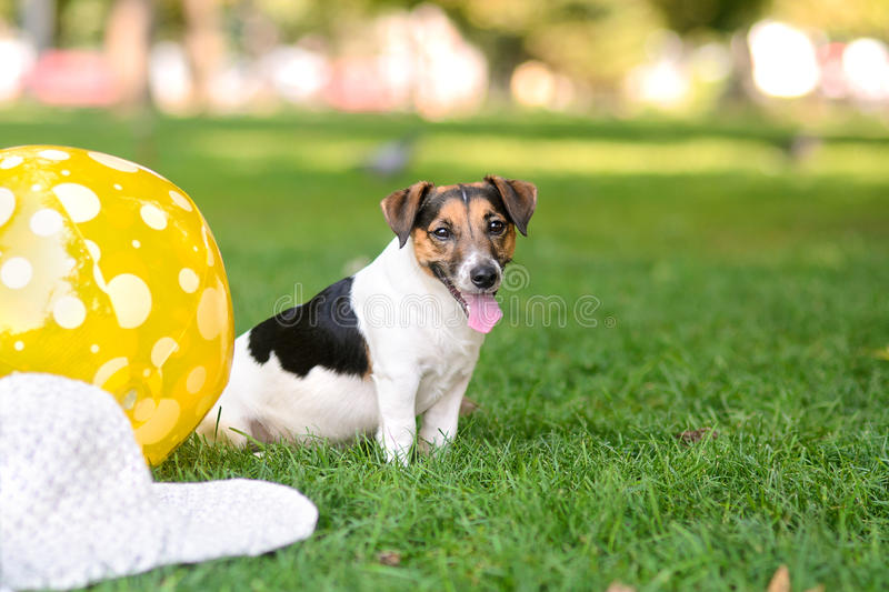 Puppy in the park sitting on the grass next to a ball and a hat royalty free stock image