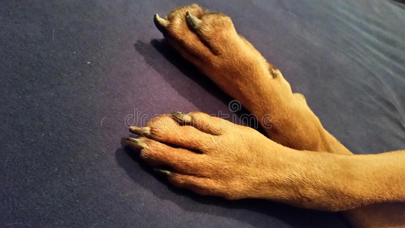 Puppy paws royalty free stock photo