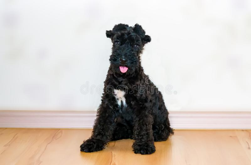 Puppy pet dog breed Kerry blue Terrier with white spot and glued ears. Close-up royalty free stock photos