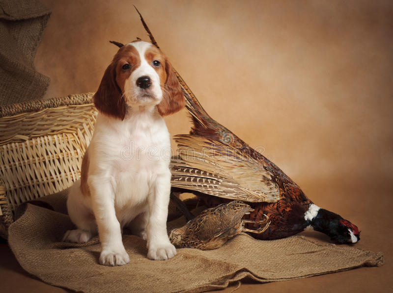 Puppy and pheasant. Horizontal, studio royalty free stock images