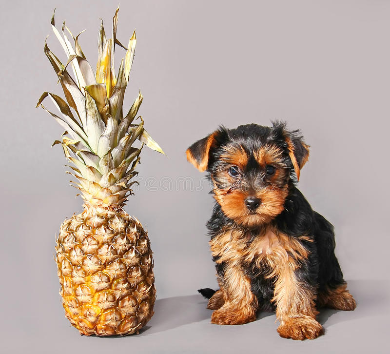 Puppy and pineapple royalty free stock photography