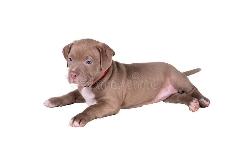 The puppy of the pit bull lies on its side. Isolated on white ba royalty free stock photo