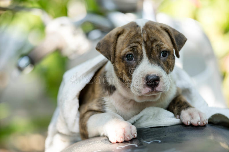 Puppy Pitbull dog. Close up puppy Pitbull dog royalty free stock images