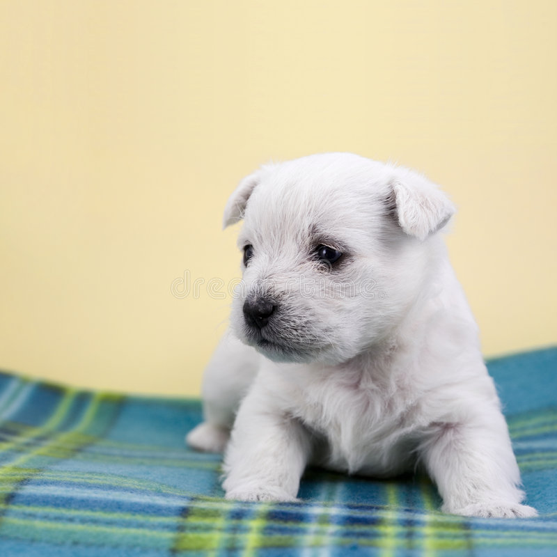 Puppy on a plaid royalty free stock photos