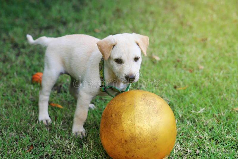 Puppy play ball on grass field. Labrador retriever puppy playing dirty ball on grass field royalty free stock photography