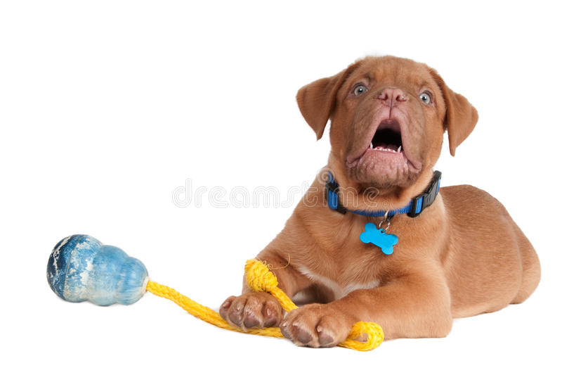 Download Puppy is playing stock photo. Image of game, ball, french - 17312412