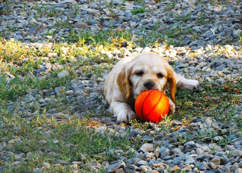 Puppy playing with a basketball ball royalty free stock images