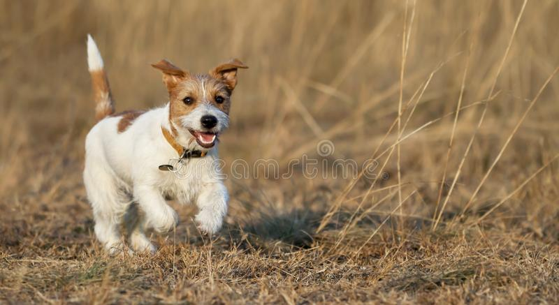 Puppy playing - happy pet dog running in the grass. Puppy playing - happy jack russell pet dog running in the grass - web banner idea stock photos