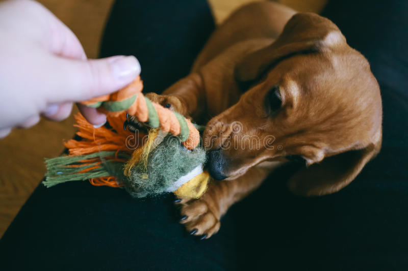 Puppy playing with owner stock photo