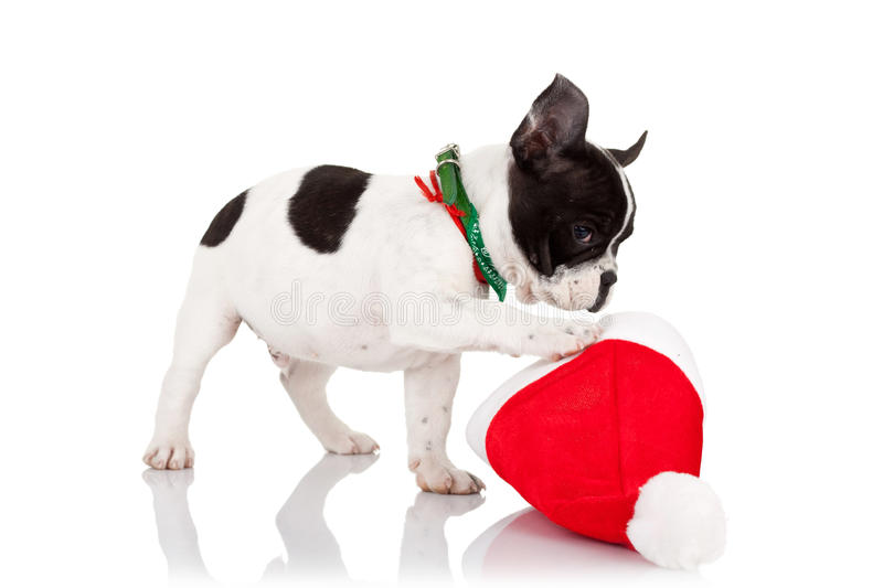 Puppy playing with a santa hat royalty free stock photography