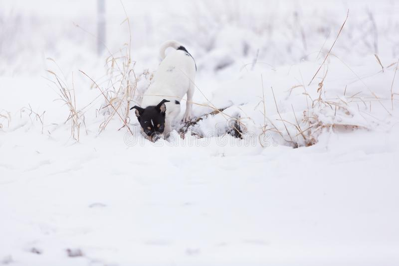 Puppy playing in snow stock photo