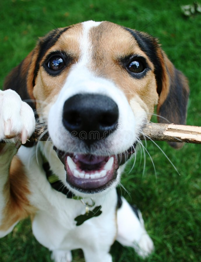 Free Puppy Playing With Stick Stock Images - 2716024