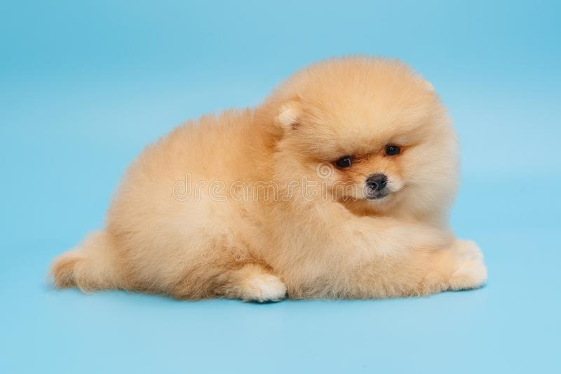 Puppy Pomeranian beige side view. On a blue background royalty free stock images