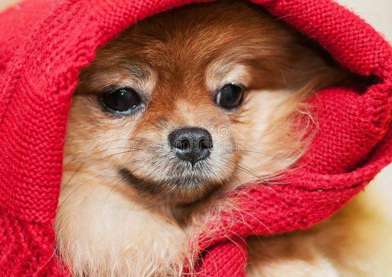 The Pomeranian spitz-dog in a red scarf royalty free stock photography