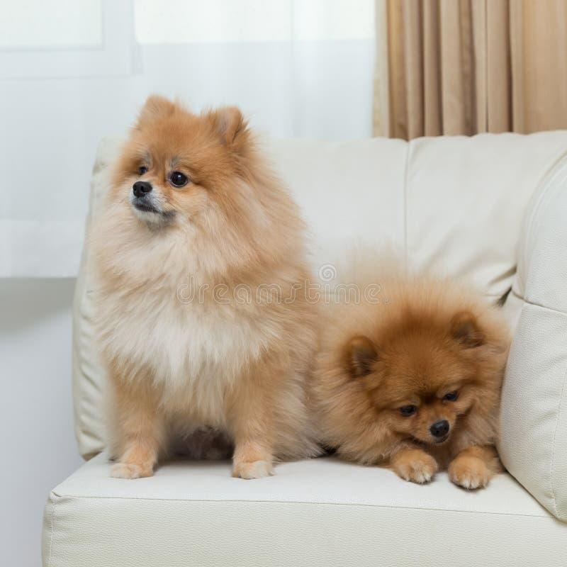 Puppy pomeranian dog cute pets sitting on white sofa stock photos