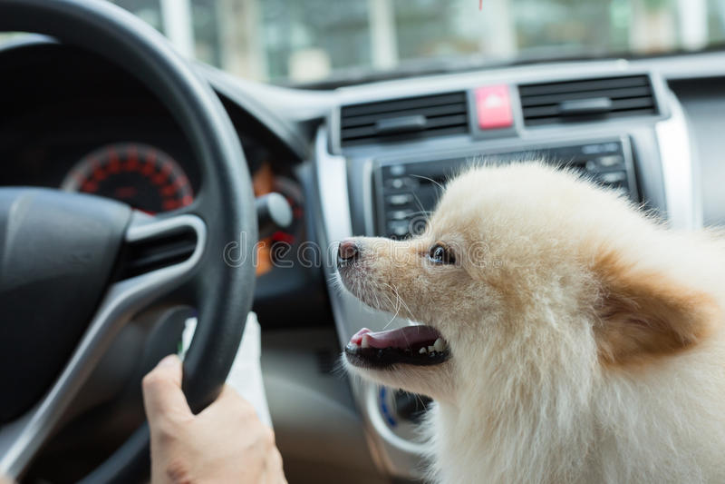 Puppy pomeranian hond in auto stock fotografie