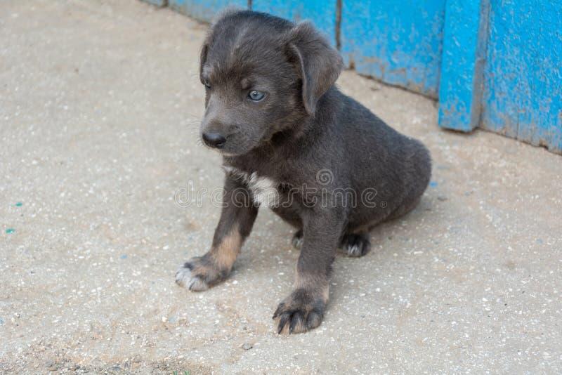 Puppy pooch grijze kleur stock afbeeldingen