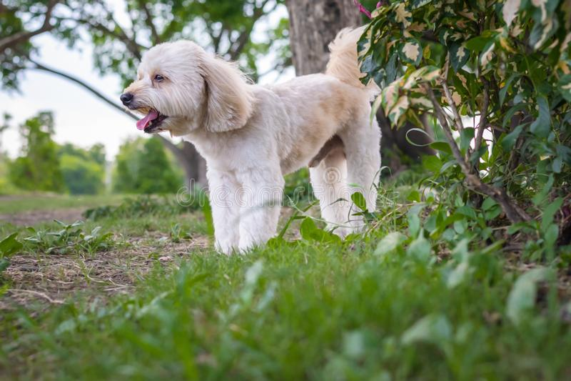 Puppy poodle dog, Cute white poodle dog on green park background, background nature, green, animal, relax pet, puppy poodle dog. Standing looking royalty free stock photo