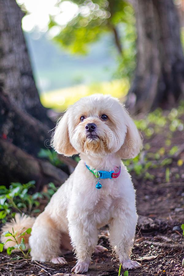 Free Puppy Poodle Dog, Cute White Poodle Dog On Green Park Background, Background Nature, Green, Animal, Relax Pet, Puppy Poodle Dog Stock Photos - 153611073