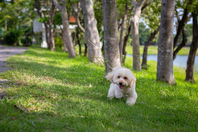 Puppy poodle dog walking on park, Cute white poodle dog on green park background, background nature, green, animal, relax pet,. Puppy poodle dog standing stock photos