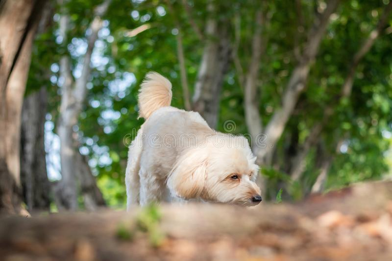 Puppy poodle dog walking on park, Cute white poodle dog on green park background, background nature, green, animal, relax pet,. Puppy poodle dog standing royalty free stock images