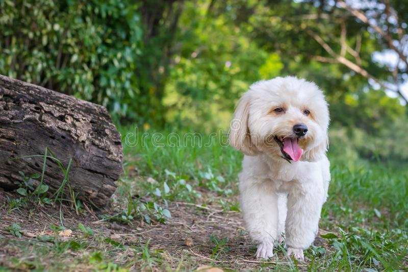 Puppy poodle dog walking on park, Cute white poodle dog on green park background, background nature, green, animal, relax pet,. Puppy poodle dog standing royalty free stock photos
