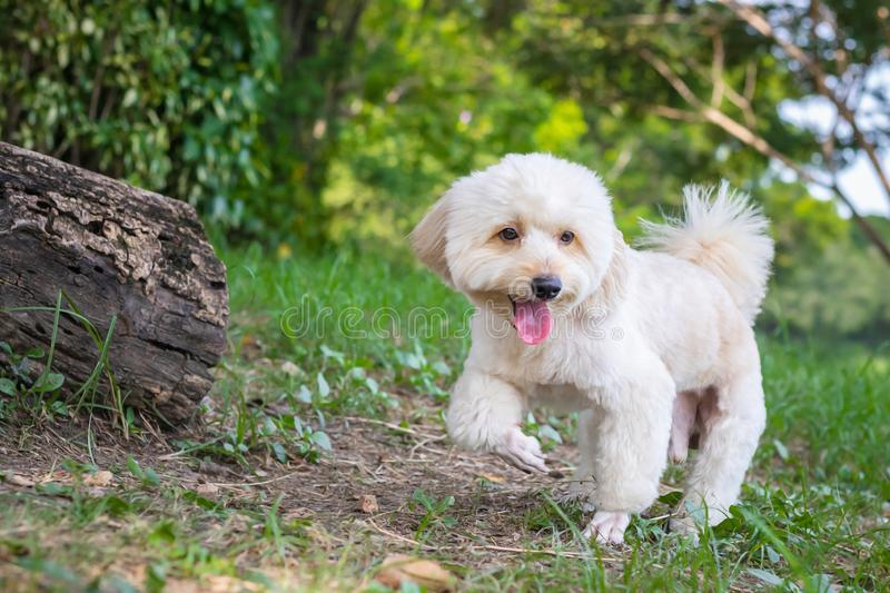 Puppy poodle dog walking on park, Cute white poodle dog on green park background, background nature, green, animal, relax pet,. Puppy poodle dog standing stock photo